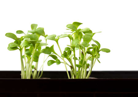 plantlet: Plant seedlings growing in a plastic tub