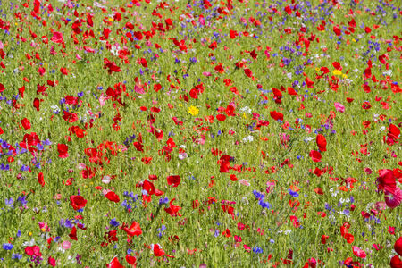 Red poppies and wild flowers growing in meadow photo