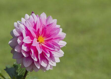 Pojedyncze różowy kwiat dalia