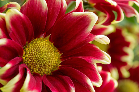 Close up red and yellow chrysanthemun flowers