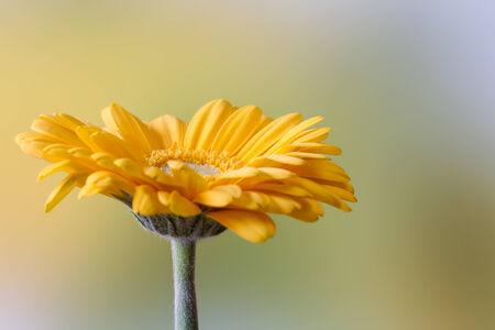 Piękny żółty kwiat gerbera