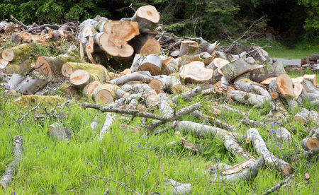 toppled: Storm damaged fallen tree sawn into pieces