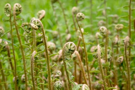 fronds: Fern fronds growing in woodland Stock Photo