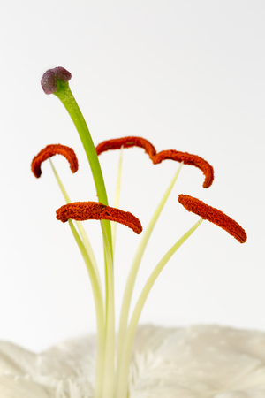 the stamens: Close up image of stamens and stigma on lily flower