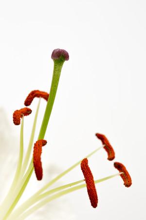 stigma: Close up image of stamens and stigma on lily flower