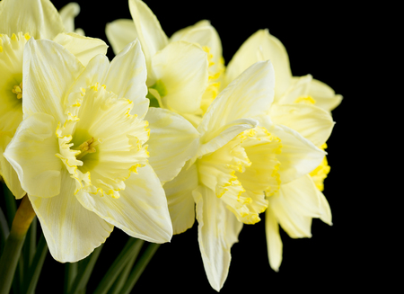 Bunch of pale yellow daffodils on black