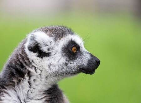 ring tailed: Close up portrait of ring tailed lemur Stock Photo