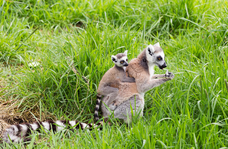 ring tailed: Ring tailed lemur carrying young on her back
