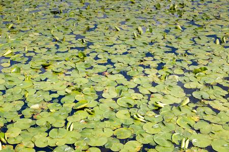 lily pads: Lily pads on a lake