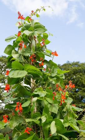 planta de frijol: planta de frijol corredor