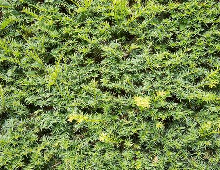 hedge: Yew tree hedge