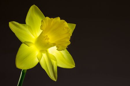 colourful lightings: Close up image of yellow daffodil with back lighting Stock Photo