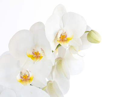 variegated: Close up Phalaenopsis, moth orchid flowers on white background