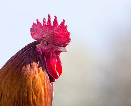 Close up portrait of a cockerel