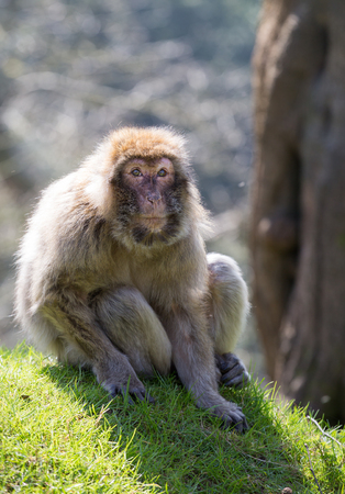 barbary: Portrait of a Barbary Macaque sitting on grass
