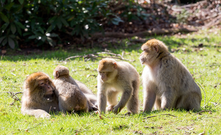 barbary: Group of Barbary Macaques with young Stock Photo