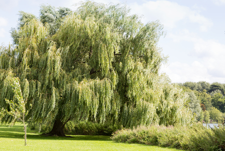 Beautiful willow tree at the side of a river