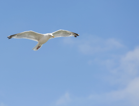 Single seagull in flight on blue sky