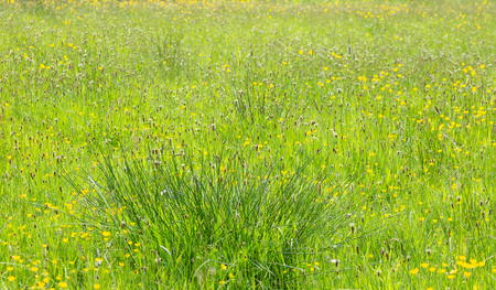 Typical british field of meadow grasses