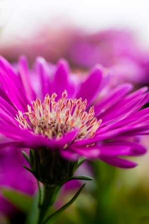 Purple flower (Aster Nova Anglia) Stock Photo