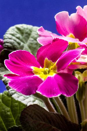 Primula Stock Photo