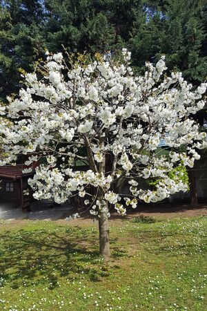 Fruit tree with beautiful white flowers Stock Photo