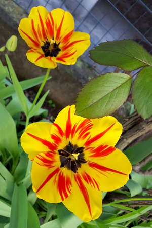 Beautiful yellow (and red streaks) tulips