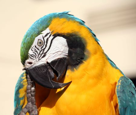 clawed: Blue and gold macaw scratching his beak with his clawed foot