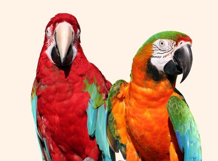A couple of beautiful macaws photo