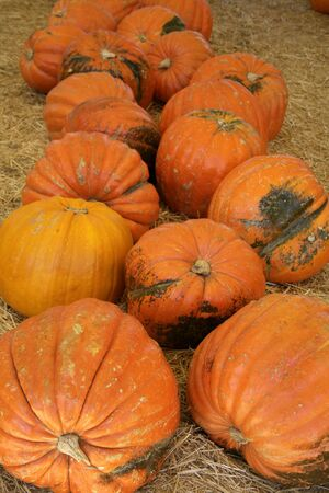 Extremely large pumpkins ready for either Halloween or Thanksgiving photo