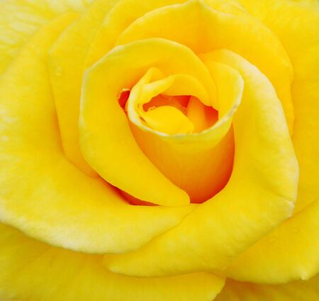 Closeup of a beautiful yellow rose with water droplets on it photo
