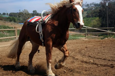 belgian horse: Belgian palomino draft horse with vaulting belt which is used for gymnastics while riding