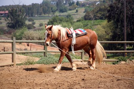 Belgian palomino draft horse with vaulting belt which is used for gymnastics while riding
