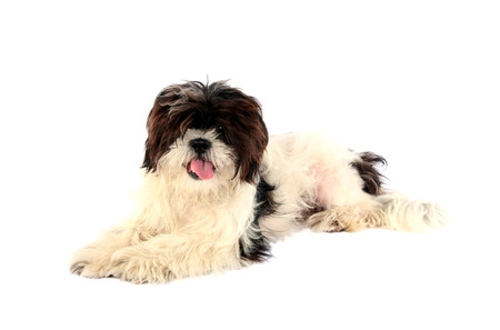 Cute little lhasa apso puppy isolated on white Stok Fotoğraf