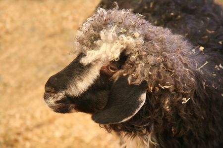 wooly: Beautiful goat or colorful wooly sheep Stock Photo