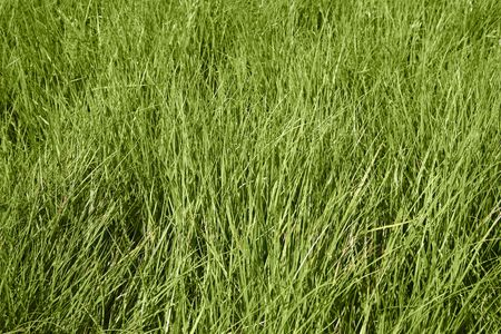 Overgrown gorgeous green grass background on a sunny day Stock Photo - 2328760