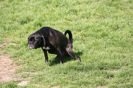 Black and white domestic dog peeing on the grass Stok Fotoğraf - 2536304