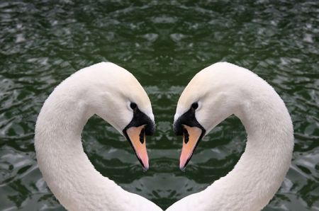 Two swan heads creating a heart shape with a water background photo