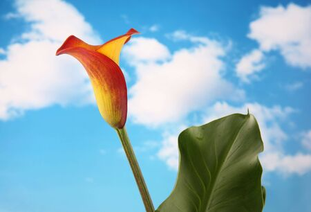 Beautiful single yellow and orange calla lilly flower isolated with a cloudy sky background photo