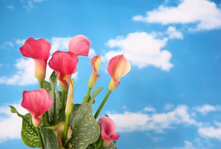 Beautiful pink colored calla lilly with cloudy sky background photo