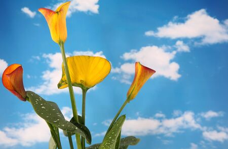 Beautiful bright colored calla lillies with cloudy sky background photo