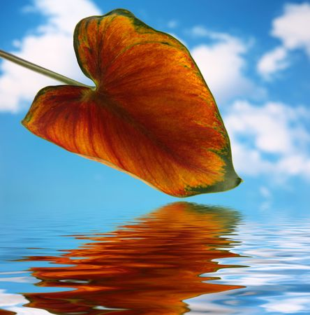 Calla lilly leaf with blue sky background and reflected in water photo