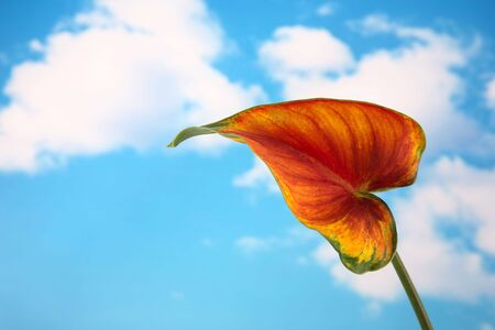 Calla lilly leaf isolated against a beautiful blue cloudy sky photo