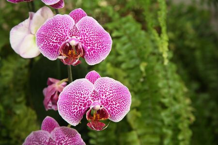 ferns and orchids: Pink orchid flowers with natural green fern background