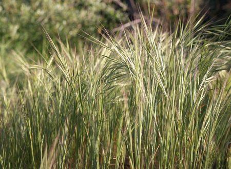 A veces llamada la planta de cola de ardilla, zorrillo, hierba, o cola de zorra Foto de archivo - 4578207
