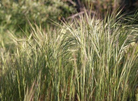 Plant sometimes called squirrel-tail, skunk-grass, or foxtail Stock Photo - 4578207