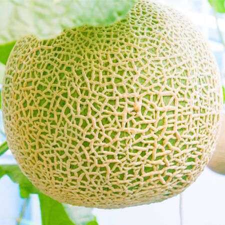 Ripe tasty melons for fun grow in nature. healthy eating. selective focus.