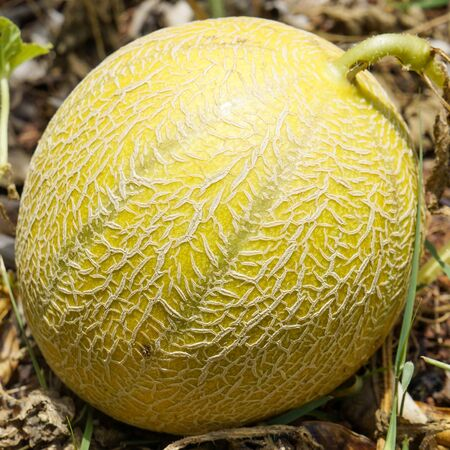 Ripe tasty melons for fun grow in nature. healthy eating. selective focus. Imagens