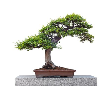 Beautiful bonsai tree isolated on white background photo