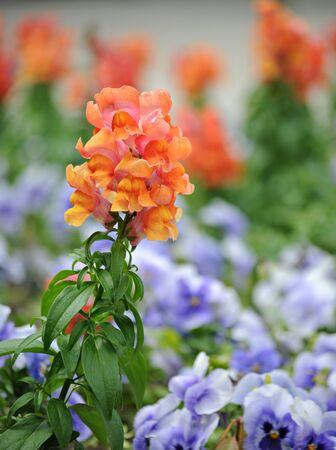 antirrhinum majus: Antirrhinum majus (snapdragon) flower in park
